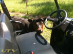 Polaris RANGER EV - Cattle