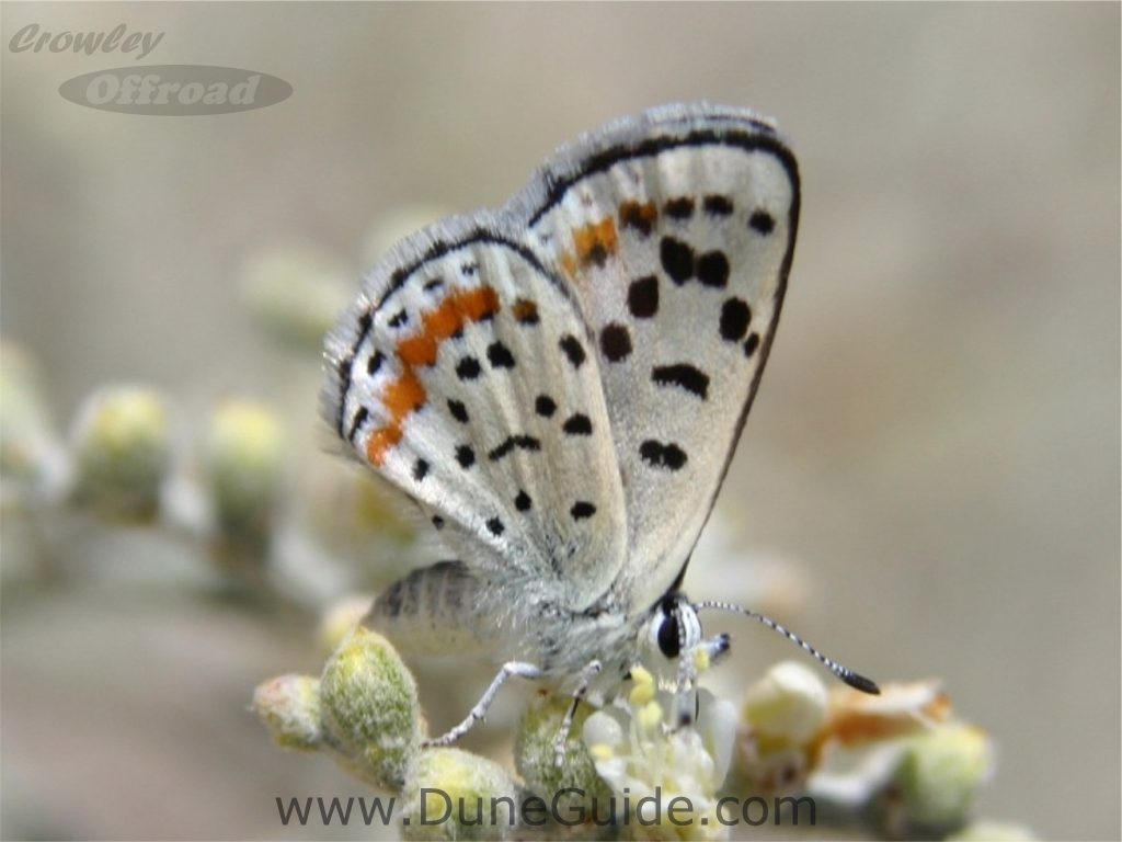 Sand Mountain Blue Butterfly
